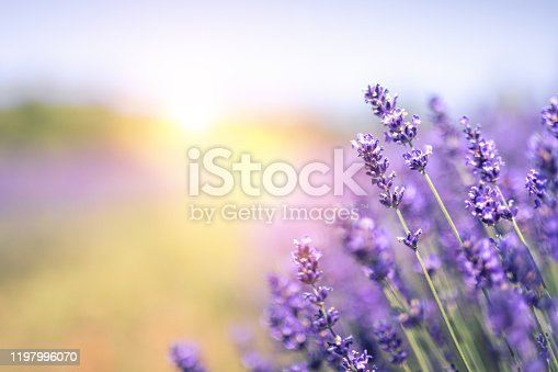 Close-up of lavender in summer.