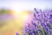 istock Lavender Field In Summer 1197996070