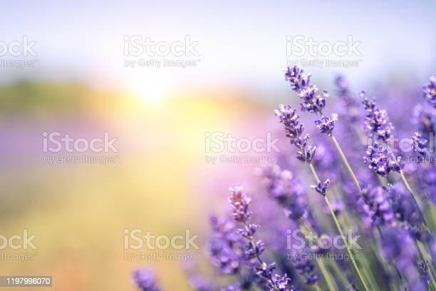 Lavender field in summer picture id1197996070?b=1&k=6&m=1197996070&s=612x612&h=namcgpnhctcqq1bqcmz4u6q4otebuxg 27laqi5uqzu=