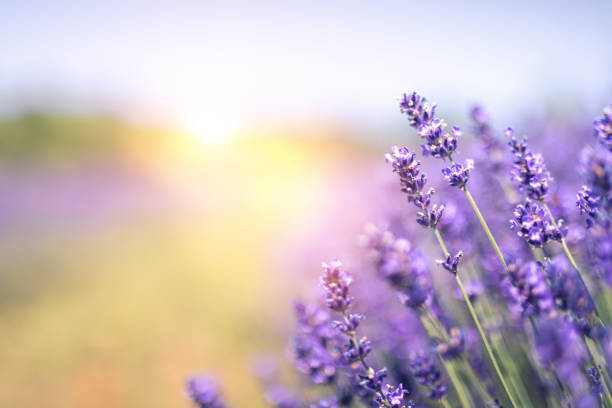 Lavender Field In Summer stock photo