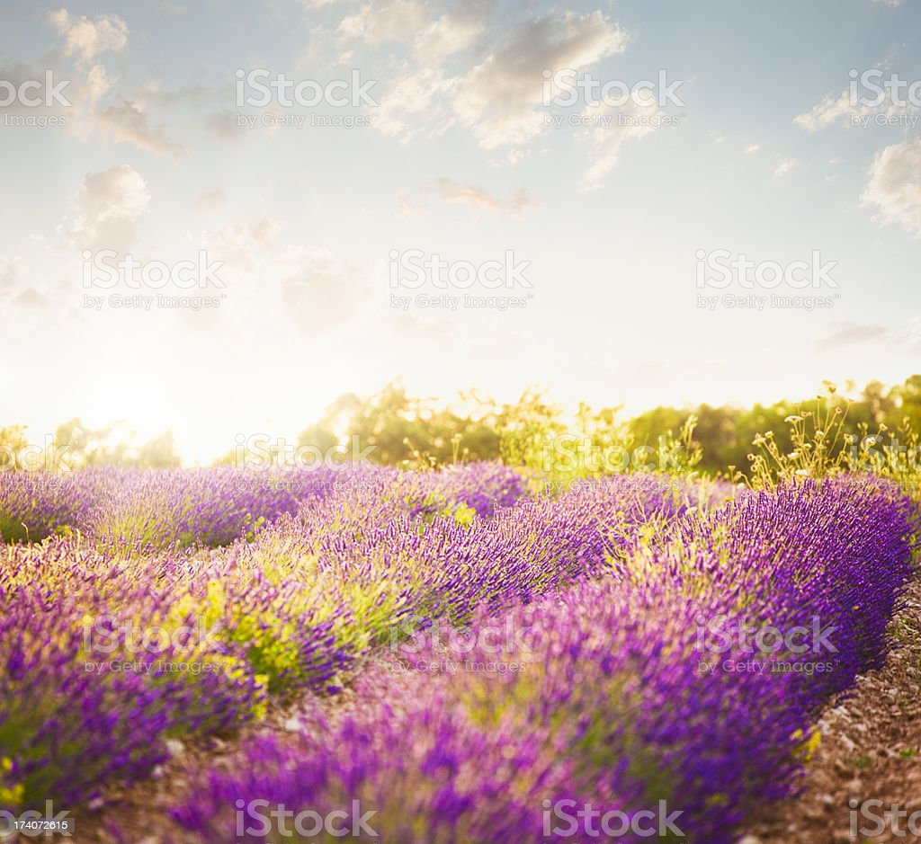 Lavender field in sunny day stock photo