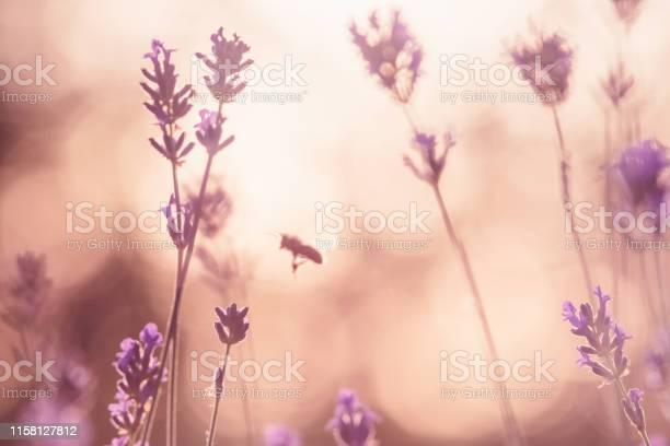 Lavender field in sunset picture id1158127812?b=1&k=6&m=1158127812&s=612x612&h=dzmjev ul86vreuem0vvprfyhhmqt1f6xlhpemgca7m=