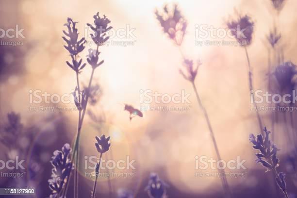 Lavender field in sunset picture id1158127960?b=1&k=6&m=1158127960&s=612x612&h=ppemzjlzfzytzdrkqm5fuvmho3zdduoxt5t5ccyeohm=