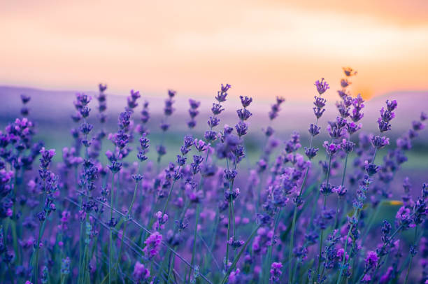 Lavender Field in the summer, natural colors, selective focus. stock photo