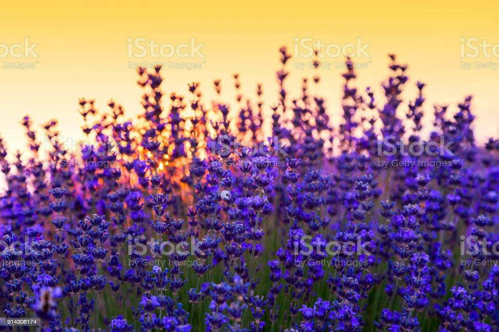 Lavender field in Tihany, Hungary stock photo