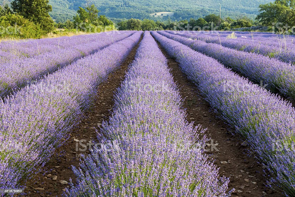 Lavender field near small town Apt, Vaucluse, Provence, France stock photo