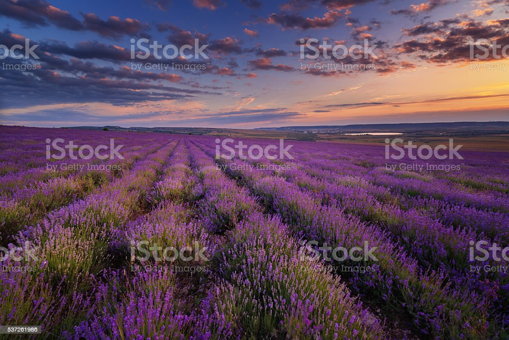 Lavender field on sunset stock photo