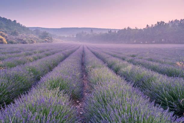 lavender field - colore lavanda foto e immagini stock