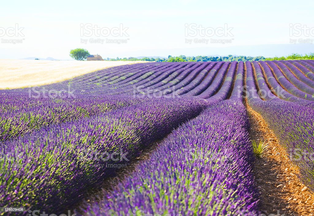 Lavender Field royalty-free stock photo