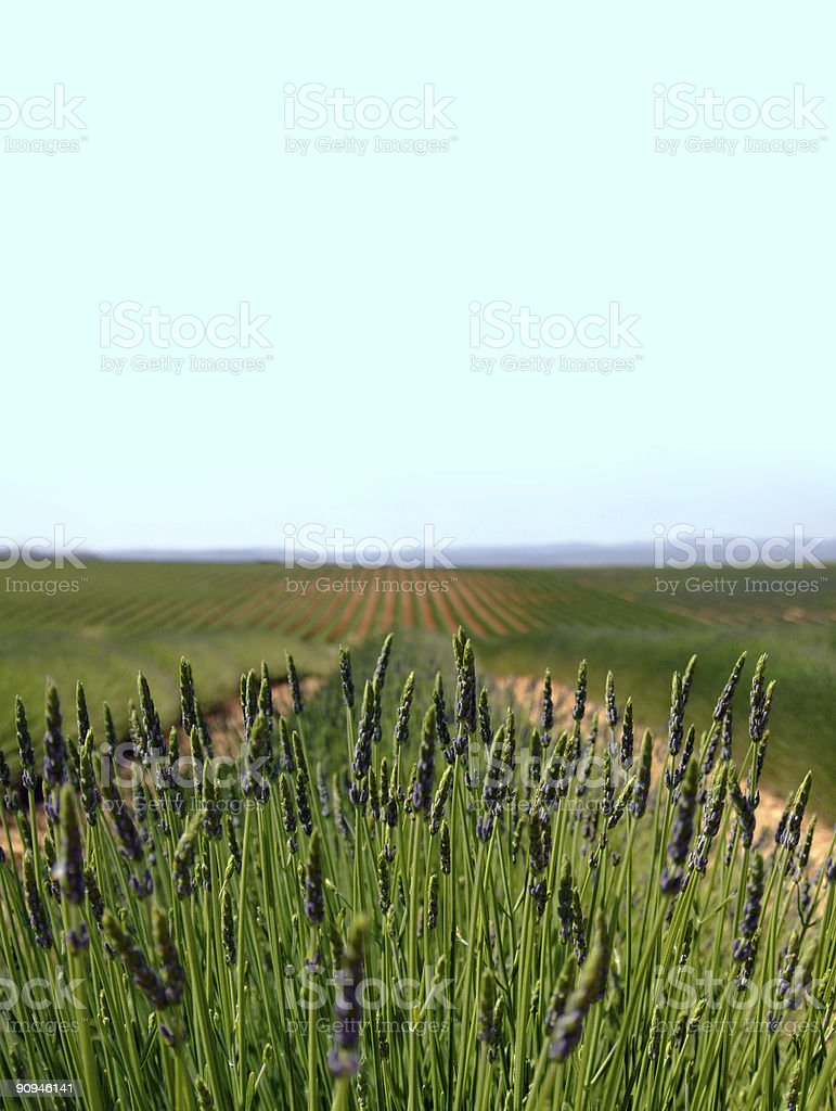 Lavender field (vertical) royalty-free stock photo