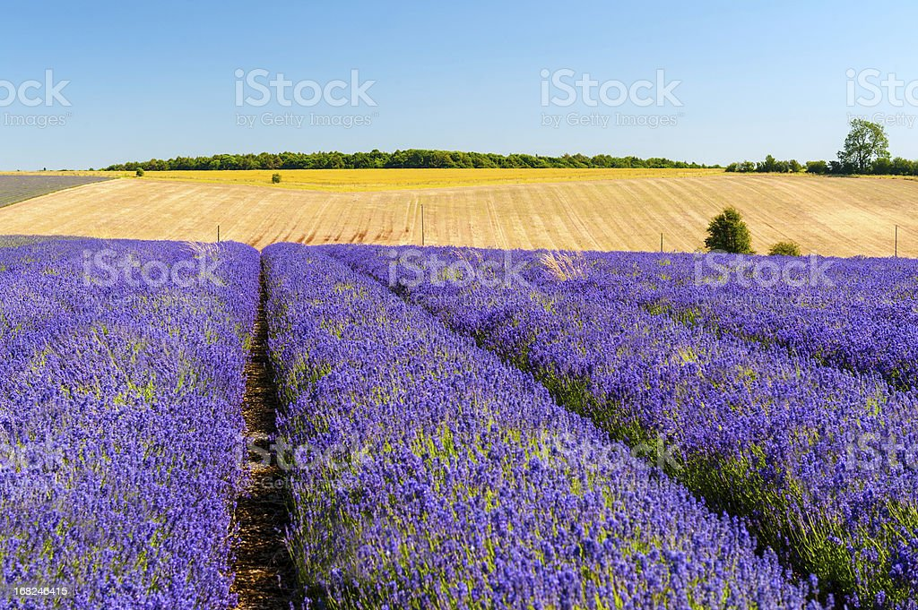 Lavender Field Under Clear Blue Sky royalty-free stock photo