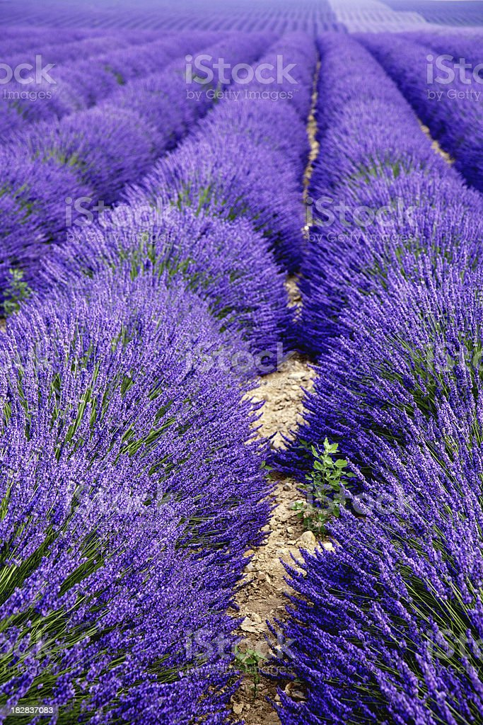 Lavender field, vertical royalty-free stock photo