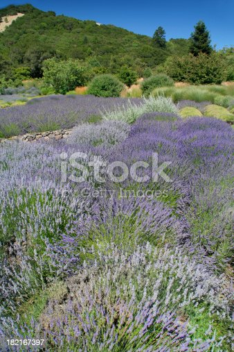 Subject: A field of Lavender against the hill side