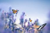 Colorful butterflies in lavender field.