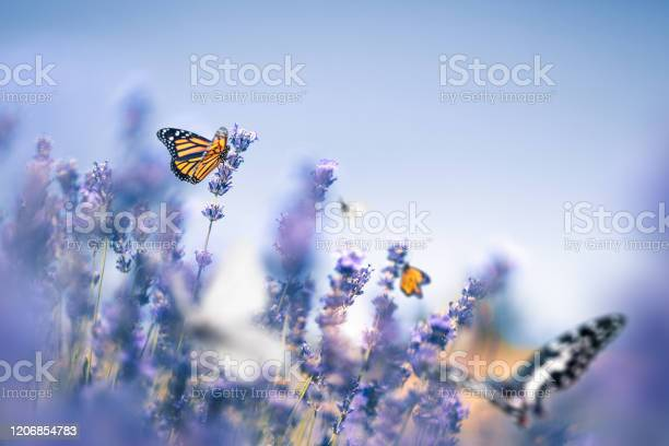Lavender field with butterflies picture id1206854783?b=1&k=6&m=1206854783&s=612x612&h=qjffzwc1ucsmli 04xevlnploodqcmfkeuvyksb7f e=