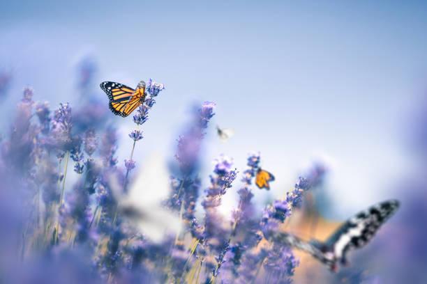 Lavender field with butterflies picture id1206854783?b=1&k=6&m=1206854783&s=612x612&w=0&h=prrfiemp 8vqoahyzclq 4hsnfcumkljskmdfbnn0kw=