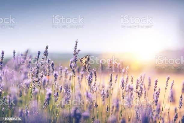 Lavender field with butterfly picture id1199596740?b=1&k=6&m=1199596740&s=612x612&h=hfyf0cdrgpv36ezfbyf18sahero9lmxvha 7rknjohc=