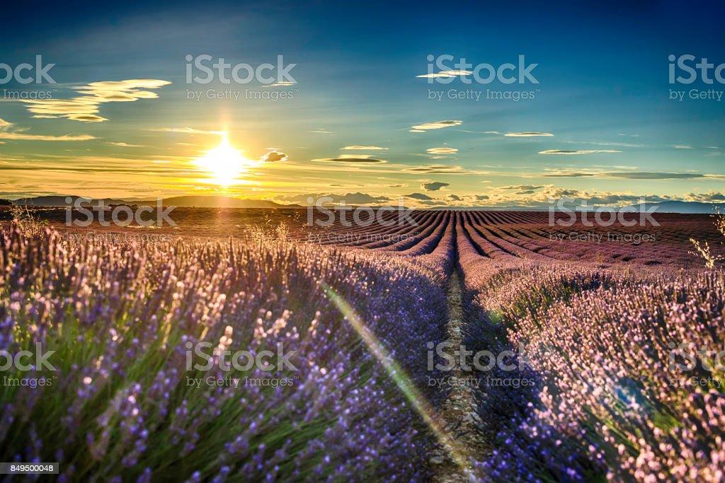 lavender fields at sunset – zdjęcie