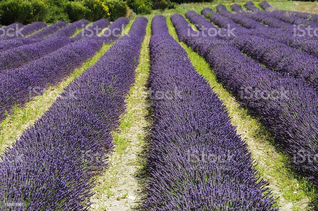 Lavender Fields in Apt stock photo