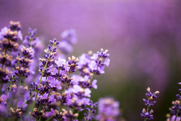 Lavender fields in summer sunset, clese-up stock photo