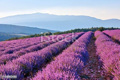 Lavender fields landscape at morning, Provence, France.