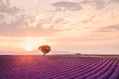 Lavender rows lines at sunset, Provence lavender fields landscape, France.