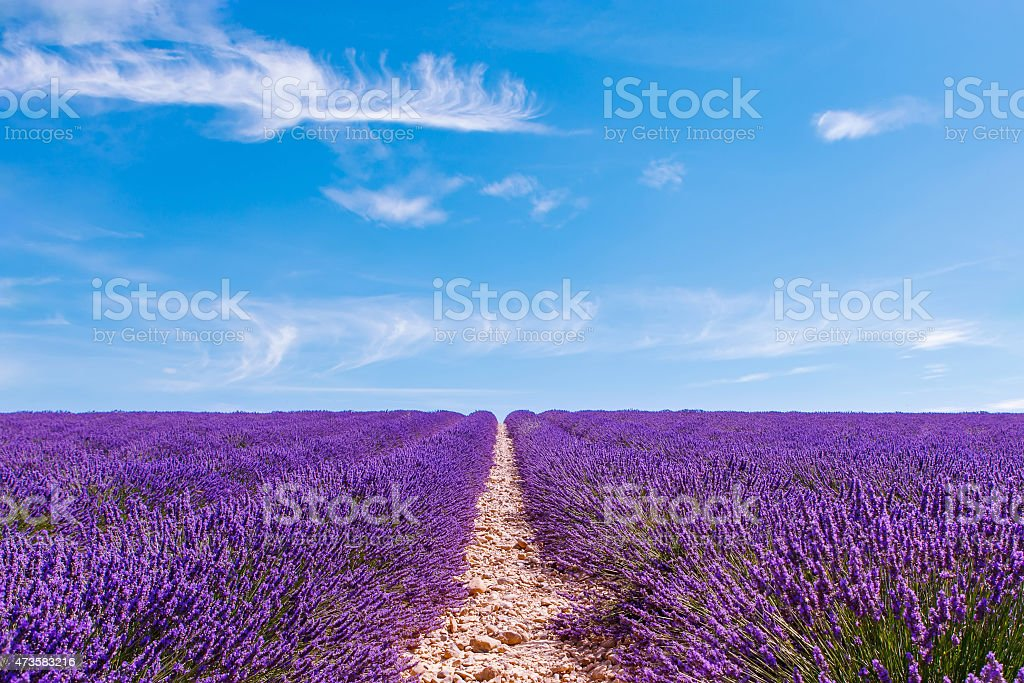 Lavender fields near Valensole in Provence, France on sunset stock photo
