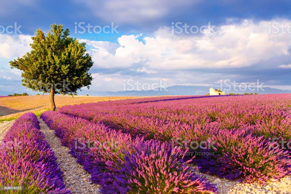 Lavendelfelder in der Nähe von Valensole in Provence, Frankreich.   – Foto