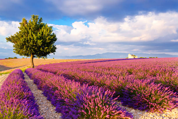 Lavender fields near Valensole in Provence, France. Beautiful blooming purple lavender fields near Valensole in Provence, France. provence alpes cote d'azur stock pictures, royalty-free photos & images
