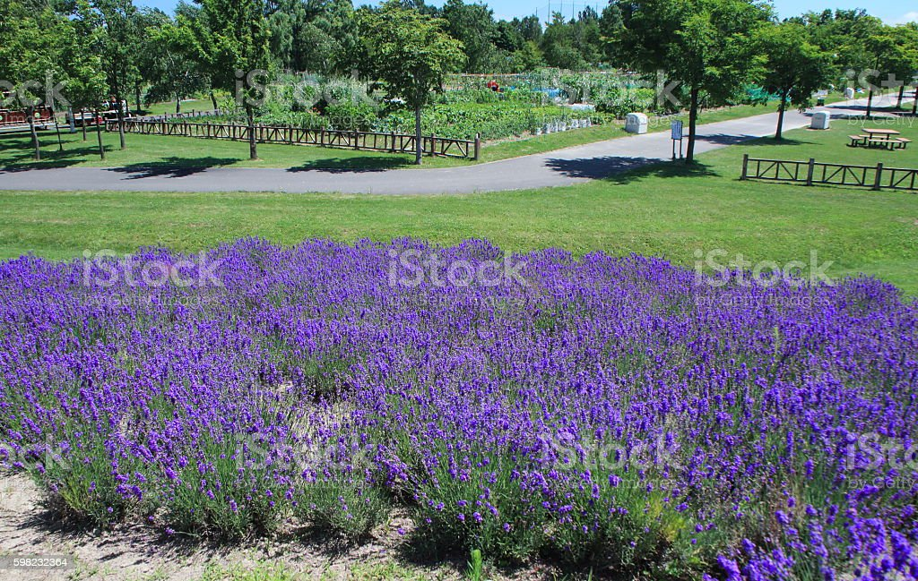 Lavender fields of Sapporo city park foto royalty-free