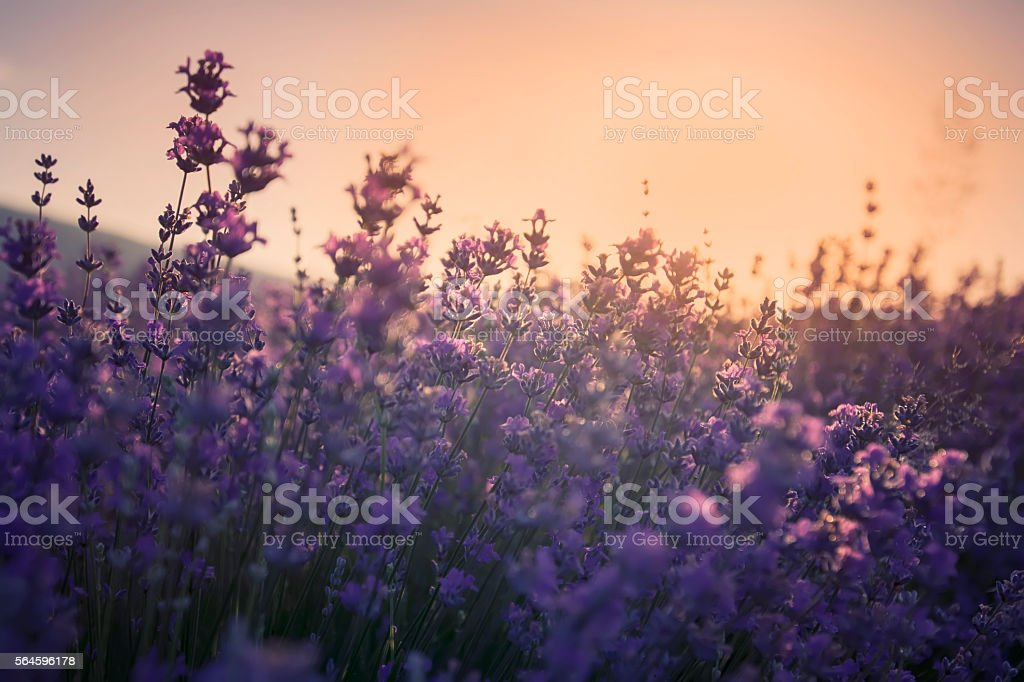 Lavender fields on sunrise. stock photo