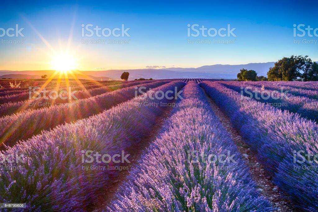 lavender fields zbiór zdjęć royalty-free