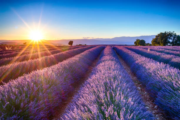 lavender fields fields of blooming lavender flowers, Provence provence alpes cote d'azur stock pictures, royalty-free photos & images