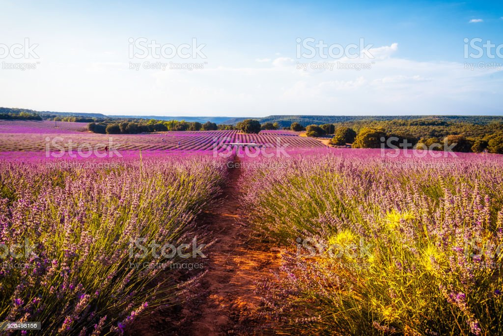 Lavender fields.  Summer sunset landscape in Brihuega stock photo