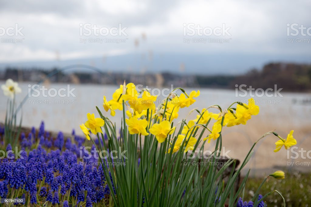 Lavender Fields with Narcissus pseudonarcissus stock photo
