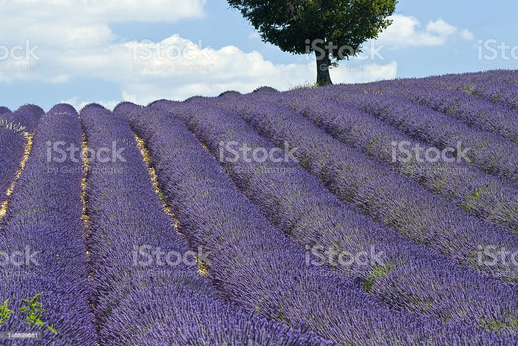 Lavender fields with tree. Provence. France royalty-free stock photo