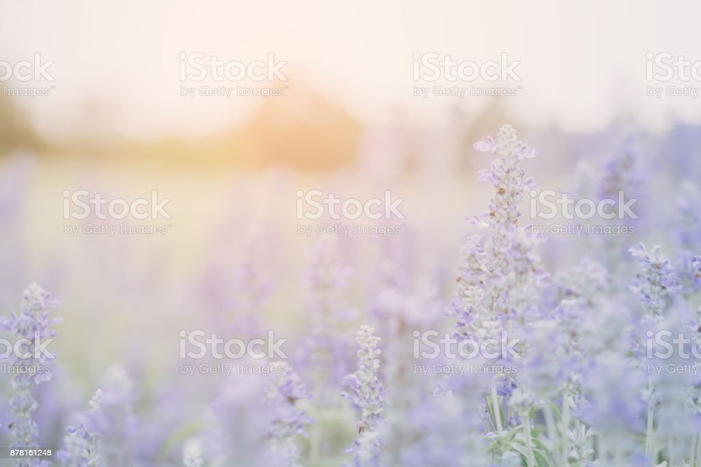 Lavender flower background stock photo