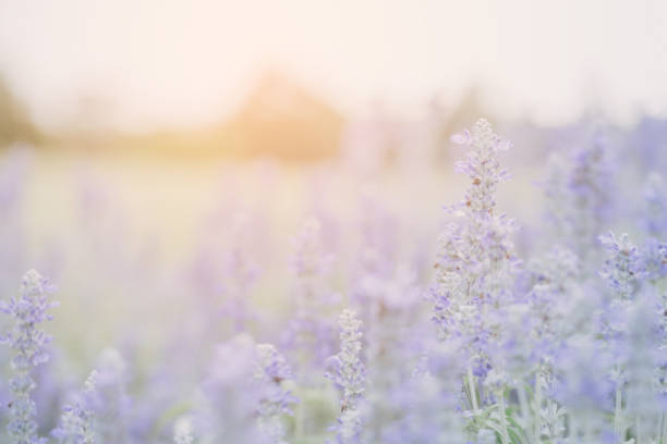 Lavender flower background stock photo