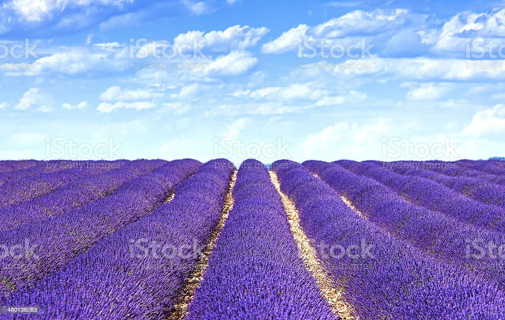 Lavender flower blooming fields endless rows. Valensole provence royalty-free stock photo