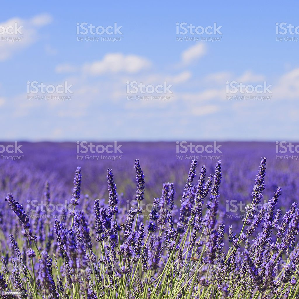 Lavender flower blooming fields horizon. Valensole Provence, Fra royalty-free stock photo