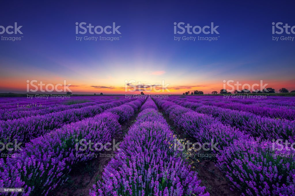 Lavender flower blooming fields in endless rows. HDR image. Sunset sky. stock photo