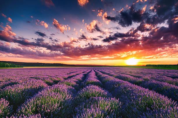 lavender flower blooming fields in endless rows. sunset shot. - 프로방스 알프스 코트다쥐르 뉴스 사진 이미지