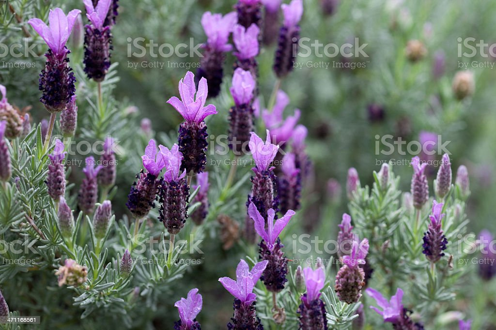 Lavender Flower Buds royalty-free stock photo