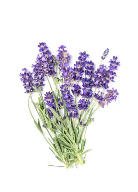 lavendel bloem geïsoleerd bos witte achtergrond - lavendel stockfoto's en -beelden