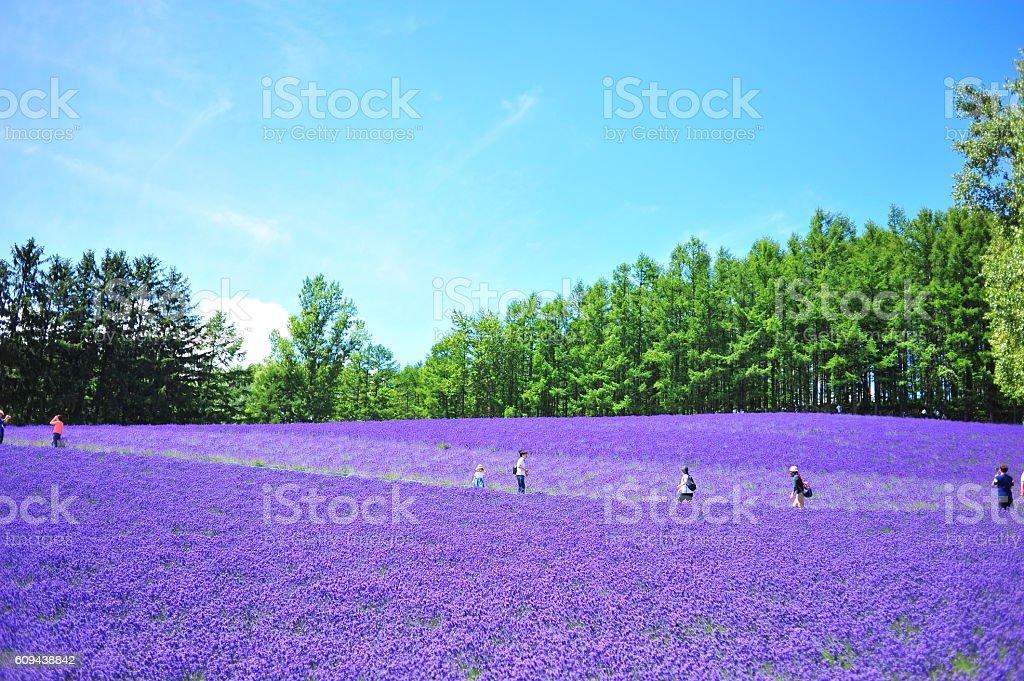Lavender Flower Fields in Hokkaido, Japan royalty-free stock photo