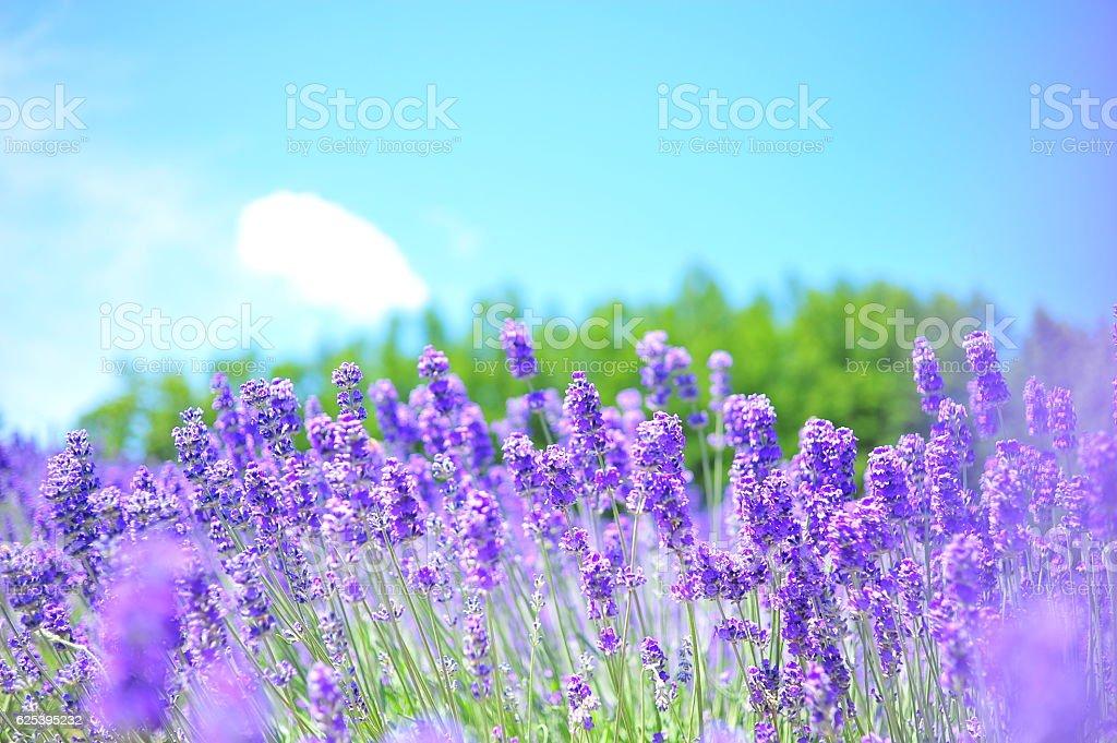 Lavender Flower Fields in Hokkaido, Japan stock photo