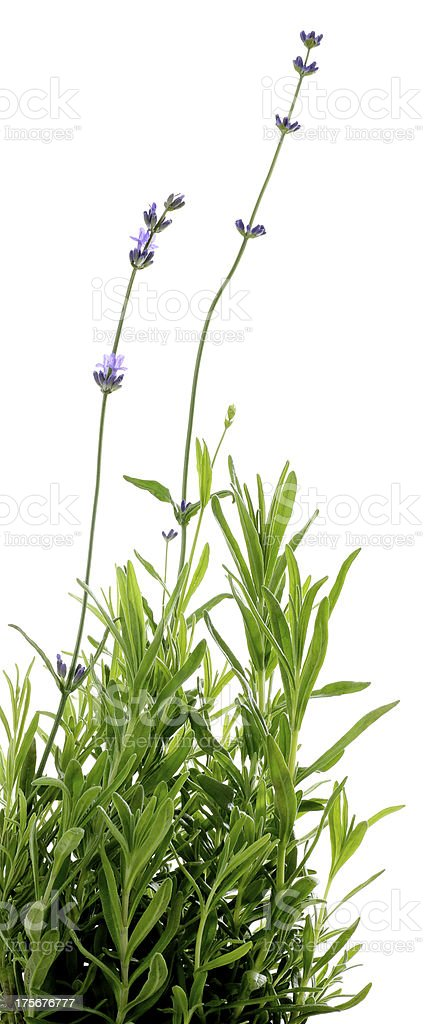 Lavender Flower Isolated on White royalty-free stock photo