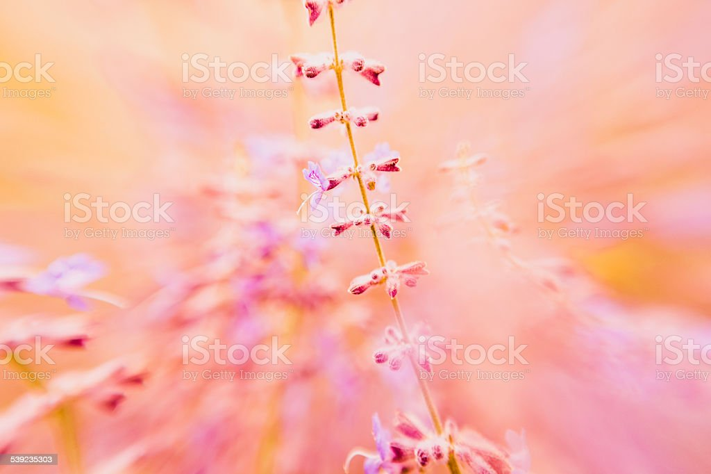 Lavender flower nature background orange and purple spring & summer royalty-free stock photo