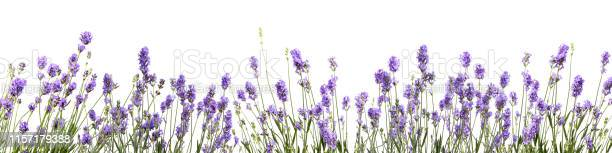 Lavender flower on white background picture id1157179388?b=1&k=6&m=1157179388&s=612x612&h=1kq2mfn6cmtgf fim5hiynfbw1gie lotoz1swsjdk8=