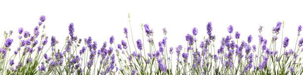 lavender flower on white background - colore lavanda foto e immagini stock
